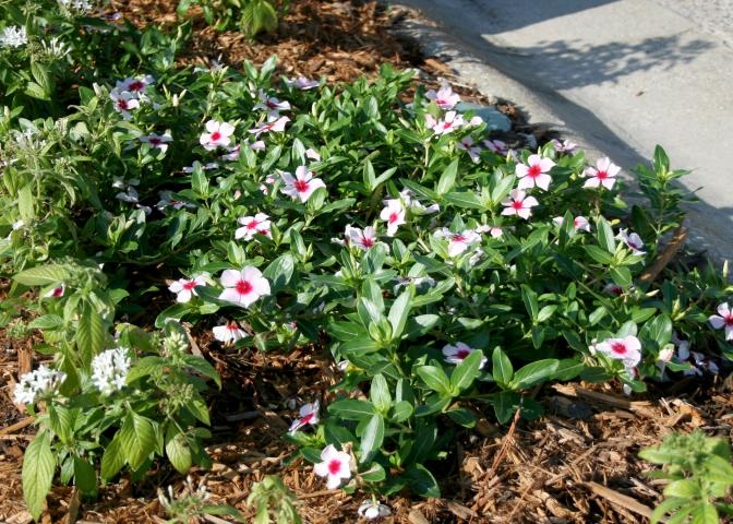 Flowering vincas, such as these selections of the carpet series, are versatile, full-sun plants that looks great mass planted in the landscape. (Photo by MSU Extension/Gary Bachman)