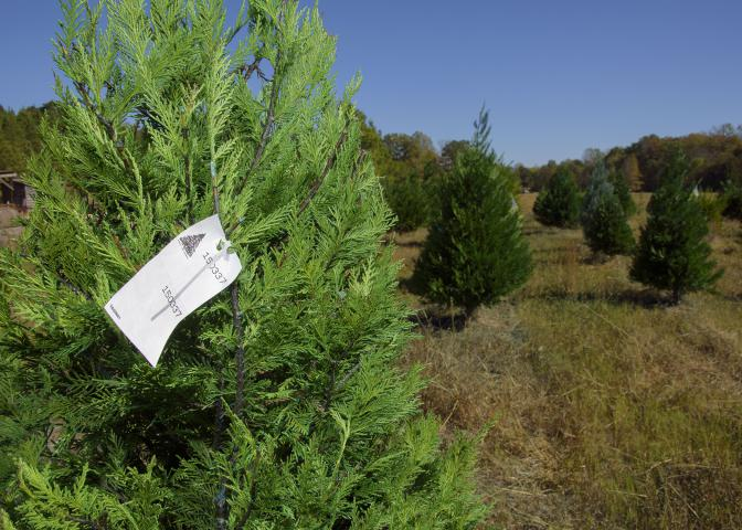 Recent drought conditions have not kept Swedenburg's Christmas Tree Farm in Columbus, Mississippi, from having a solid production year. (Photo by MSU Extension Service/Kevin Hudson)