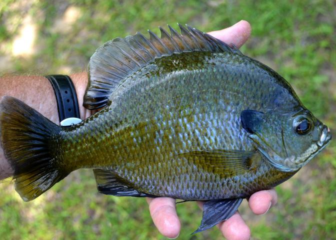 Landowners can learn how to improve the quality and quantity of sport fish, such as this bluegill, in upcoming free pond management workshops. (Photo by MSU Extension Service/Wes Neal)