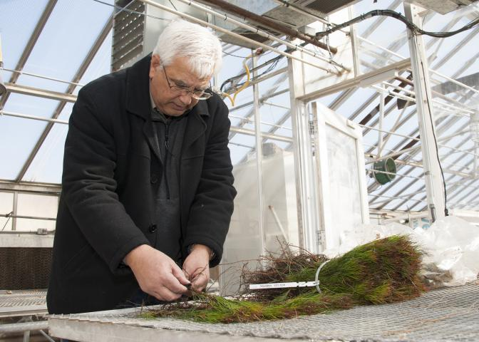 Randy Rousseau, a Mississippi State University Extension forestry professor in the Forest and Wildlife Research Center, examines pine seedlings in an MSU greenhouse Feb. 18, 2015, in Starkville, Mississippi. He administers a program designed to encourage landowners to invest in better seedlings so they can see for themselves that the results are worth the much higher initial cost. (Photo by MSU Ag Communications/Kat Lawrence)