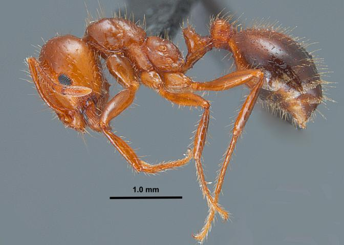 Most fire ants found in Mississippi are a hybrid between the red imported fire ant, pictured here, and the black imported fire ant. (Photo by Mississippi Entomological Museum/Joe A. MacGown)