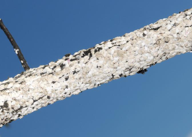This crape myrtle branch is encrusted in the white felt of crape myrtle bark scale, an invasive insect that damages the once low-maintenance trees. (Photo by MSU Extension/Blake Layton)