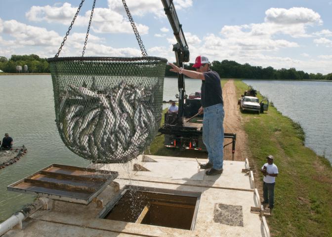 catfish in net