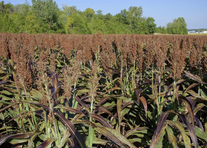 grain sorghum field