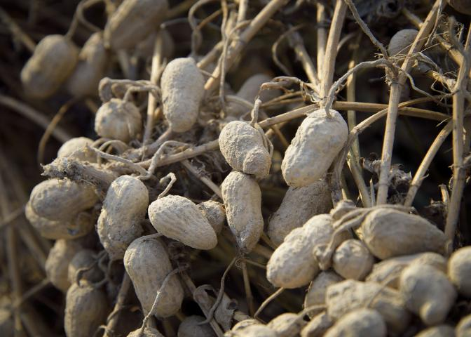 peanuts on vine