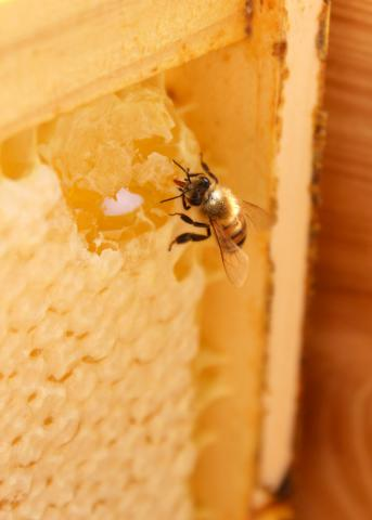 A worker bee sips from honey exposed by damage to the wax comb. Worker bees forage on flowers through the spring, summer and fall to gather and store the honey and pollen the colony needs to survive the winter months. (File photo by MSU Extension/Keri Collins Lewis)
