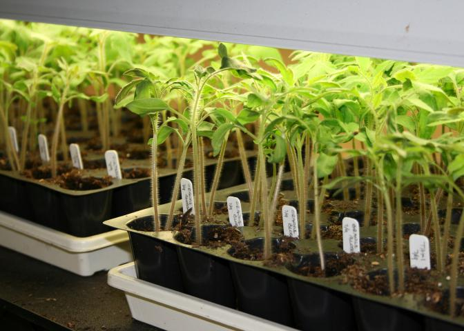 While not all vegetables are suited for the home gardener to start from seed, tomatoes such as this heirloom variety can easily be grown from seed and transplanted outdoors. (Photo by MSU Extension/Gary Bachman)