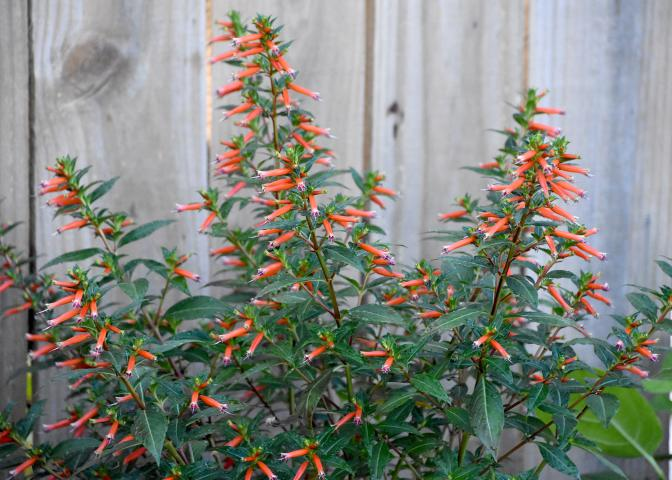Vermillionaire cuphea is a heat-loving plant that flowers from spring to frost. Its abundant tubular flowers up and down the stems are butterfly and hummingbird magnets. (Photo by MSU Extension/Gary Bachman)