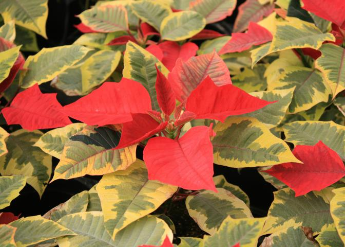 Garden centers carry a wide variety of poinsettia colors and styles to match nearly any decor. Colors range from traditional red to whites, pinks, maroon and more. (Photo by MSU Extension Service/Gary Bachman)
