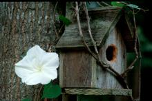 Any bird would love a home decorated with the Giant White moonflower.