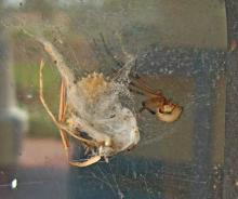 "Brown Widow spiders, such as this one located beside a window near the Mississippi Gulf Coast in late July, produce ""spiny"" egg masses that look like the fruit from a sweetgum tree. Newly arrived in Mississippi from Florida, these spiders are venomous, like their cousin the Black Widow. See larger view. (Photo by David Held, MSU Coastal Research and Extension Center)"