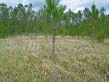 Cogongrass is not native to Mississippi, but the Asian import is spreading rapidly through the state, choking out native vegetation and causing problems for livestock and wildlife. (Photo by MSU Ag Communications/Bob Ratliff)