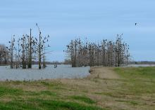 Cormorants can be seen roosting overnight in a cypress break in the Mississippi Delta. One of the most successful harassment techniques being used against cormorants is roost dispersal. (Photos by Jim Steeby)