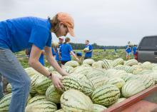 Mississippi State University student Margaret Wilson of Brandon loads watermelons onto a trailer headed for area food pantries. Wilson and other members of Service DAWGS, a new community service student initiative, picked melons left over from harvest on the Farm Fresh fields in Webster County. (Photo by Marco Nicovich)
