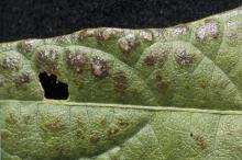 Soybean rust appeared in 79 of the state's 82 counties in 2008, but it came late enough that it did not cause yield losses. This soybean leaf is infected with the rust virus. (Photo by Jim Lytle)