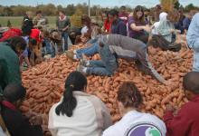Mississippi State University nutrition major Adam Woodyard of Tupelo, center, jumps on a sweet potato mound to spread it to baggers.