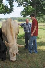 Mississippi State University animal scientist Brian Rude, left, and graduate student Jonathan Greene of Trussville, Ala., feed Peaches the steer a ration containing refined distillers grains. The two studied the ability of cattle to digest this substance. (Photo by Kat Lawrence)