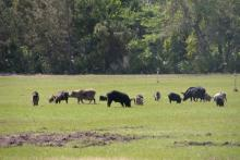 The wild pig herd pictured here caused significant damage in a short amount of time by rooting the land. (Photo by USDA APHIS/Carol Bannerman)