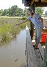 MSU wildlife and fisheries graduate student Sarah Harrison lowers a net into the Pascagoula Estuary. Data she is collecting can be used to assess the impact on the blue crab population if oil from the Gulf reaches the wetland. (Photo by Bob Ratliff)