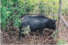 Recent testing has found that some feral swine in Mississippi have been exposed to diseases that can be transmitted to humans and domestic animals. Landowners are encouraged to trap or hunt feral swine to help reduce their population in the state. (Photo by Andrea Cooper)
