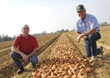 Benny Graves (left), executive director of the Mississippi Sweet Potato Council in Vardaman, and Kenneth Alexander of Alexander Farms kneel beside rows of sweet potatoes laid out to be bedded in Vardaman in late March. (Photos by Scott Corey)