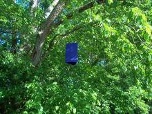 The emerald ash borer trap is a three-dimensional triangle or prism. It is made out of thin, corrugated purple plastic that has been coated with non-toxic glue on all three sides. The traps are about 24 inches long and hang vertically in ash trees or are secured to tree trunks. (Photo by USDA APHIS/Jay Standley)