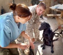 Capt. SaraRose Knox, a 2010 graduate of MSU's College of Veterinary Medicine, teaches military handlers basic first aid for their dogs, such as bandaging, stabilizing fractures and trimming nails. (Submitted photo)