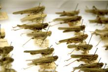 Mississippi State University has 32,000 grasshoppers on loan from the Smithsonian Institution. Many of the specimens are more than 100 years old and have hand-written identification tags. (Photo by MSU Ag Communications/Kat Lawrence)