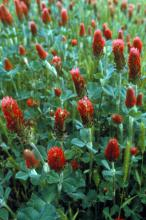 Common vetches and clovers, such as crimson clover, can be used as cover crops to prevent soil erosion, add organic matter, suppress weeds and retain soil moisture. (Photo courtesy of USDA-ARS/Bob Bjork)
