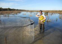 Joe Lancaster baits a pond to attract mallard ducks he can tag and equip with a radio frequency transmitter as part of a study designed to learn about ducks' use of habitats. (Submitted Photo)