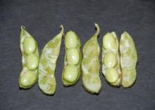 The best way to determine soybean maturity level is to split open the pod and examine the seed inside. This soybean has reached the R6.5 stage. (Photo by MSU Extension Service)