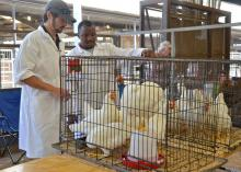 Mississippi State University poultry science students Chase McNeil (left) and Nurvdeen Taofeek judge a group of chickens entered by DeSoto County 4-H'er Renee Anderson. Sixty-four 4-H'ers competed in the show, held at the Mississippi State Fair Oct. 12. (Photo by MSU Ag Communications/Susan Collins-Smith)
