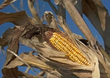 Corn in 2013 brought in less money than it did the year before, but the crop still posted an estimated value of $631 million. It also set a new record in average yield, with an estimated 180 bushels produced per acre in Mississippi. (Photo by MSU Ag Communications/Kat Lawrence)