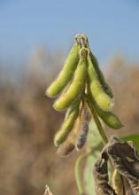 Although the value was down in 2013, Mississippi soybeans netted an estimated $993 million for state producers and remained the state's biggest row crop. (Photo by MSU Ag Communications/Kat Lawrence)