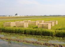 Researchers at Mississippi State University use a large cage over multiple rice plants to help them determine when rice stink bugs cause the most damage. (Photo courtesy of Jeff Gore)