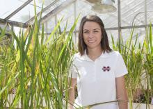 Jennifer Corbin, a research associate with the Mississippi Agricultural and Forestry Experiment Station, studies rice varieties, such as these growing in a greenhouse at the Delta Research and Extension Center in Stoneville on May 22, 2014. (Photo by MSU Ag Communications/Kat Lawrence)