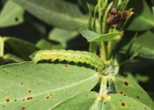 Corn earworms are one of several pests that feed on peanut plant foliage in Mississippi fields. A new study conducted by researchers at the Mississippi State University Delta Research and Extension Center aims to develop pesticide recommendations tailored specifically to the local climate. (Photo by MSU Delta Research and Extension Center/Jeff Gore)