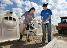 Senior animal and dairy science majors Kelsey Hart, left, of Nesbit and Karley Parker of Ellisville measure a Holstein calf at the Mississippi State University Joe Bearden Dairy Research Center in Oktibbeha County, Mississippi, in a file photo from the fall of 2013. (Photo by MSU Office of Public Affairs/Megan Bean)
