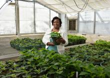 Sanitra Lawrence, a senior from Starkville majoring in horticulture at Mississippi State University, inspects poinsettias for whiteflies at a greenhouse. (Photo by MSU Ag Communications/Kevin Hudson)
