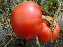 These vine-ripe tomatoes were growing on June 30, 2004, at the Mississippi State University Truck Crops Branch Experiment Station in Crystal Springs, Miss. Abundant rainfall in 2004 has been beneficial for some Mississippi gardens, but wet conditions also promote disease problems.