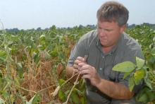 Mississippi State University soybean researcher Don Poston examines drought-stressed soybeans for signs of disease at the Delta Research and Extension Center near Stoneville. (Photo by Jim Lytle)