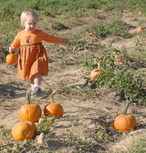Lauren Beech, age 22 months, searches for the perfect jack-o'-lantern at the Circle Y Pumpkin Patch, near her home in Corinth. (Photo by Jim Lytle)