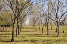 Many pecan producers, such as Peeples Pecan Orchard in Starkville, are waiting for rains to let up enough for them to harvest in earnest. Mississippi pecan growers are anticipating a better than average crop of more than 2 million pounds. (Photo by Kat Lawrence)