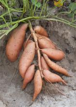 Weather was just about perfect this summer for sweet potatoes, and Mississippi producers are quickly getting a good crop out of the ground. Evangeline is a new variety that has the potential to become quite popular with area growers. (Photos by Scott Corey)