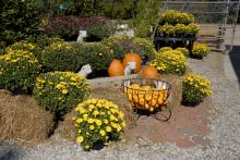 Mississippi lawn and garden centers are providing pumpkins in a variety of sizes for fall displays, such as this one at the Oktibbeha County Co-op on Oct. 15, 2010. Dry conditions this year reduced the size and number of Mississippi's carving pumpkins, but miniature varieties are abundant. (Photo by Linda Breazeale)