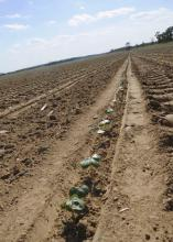 Mississippi's cotton crop was planted later than usual and faced a variety of challenges early in the growing season. (Photo by Scott Corey)