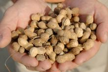Peanut prices have more than doubled in the past year, and Mississippi's peanut producers are benefitting from timely rains and minimal problems with disease and pests. (file photo)
