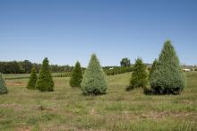 It takes four years to grow Mississippi Christmas trees to the popular 6 to 8 feet tall size. About 900 trees can be grown per acre, such as these growing in Chunky on the Lazy Acres Plantation. (Photo by Kat Lawrence)