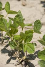 A warm March helped Mississippi growers get an early start planting the soybean crop. By late April, more than a fourth of the crop had emerged. (file photo)