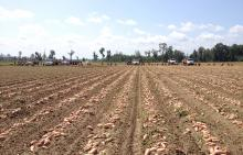 Sweet potatoes lay in the field, ready to be harvested by bucket crew at Chrestman Farms in Lafayette County. (Photo by Mississippi Sweet Potato Council/Benny Graves)